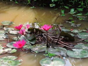 MEKONG DELTA- LOTUS FLOWER
