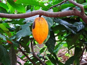 MEKONG DELTA - COCOA TREE